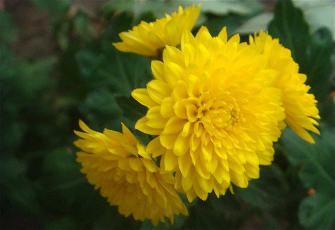 Хризантемы - украшение нашего двора - Нина Корешкова