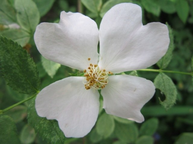 Цветок шиповника - Дмитрий Никитин