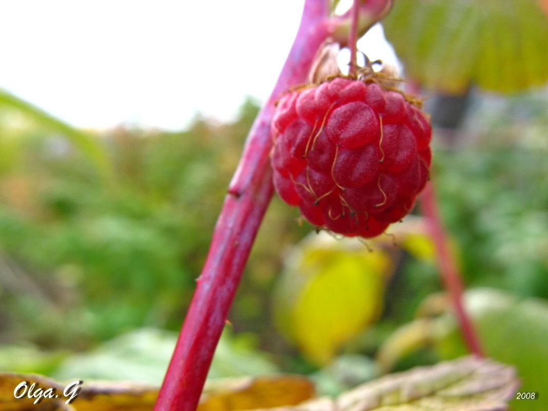 Забытая ягода - OLLES