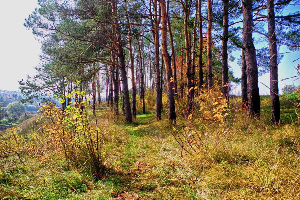 осень и сосны - юрий иванов