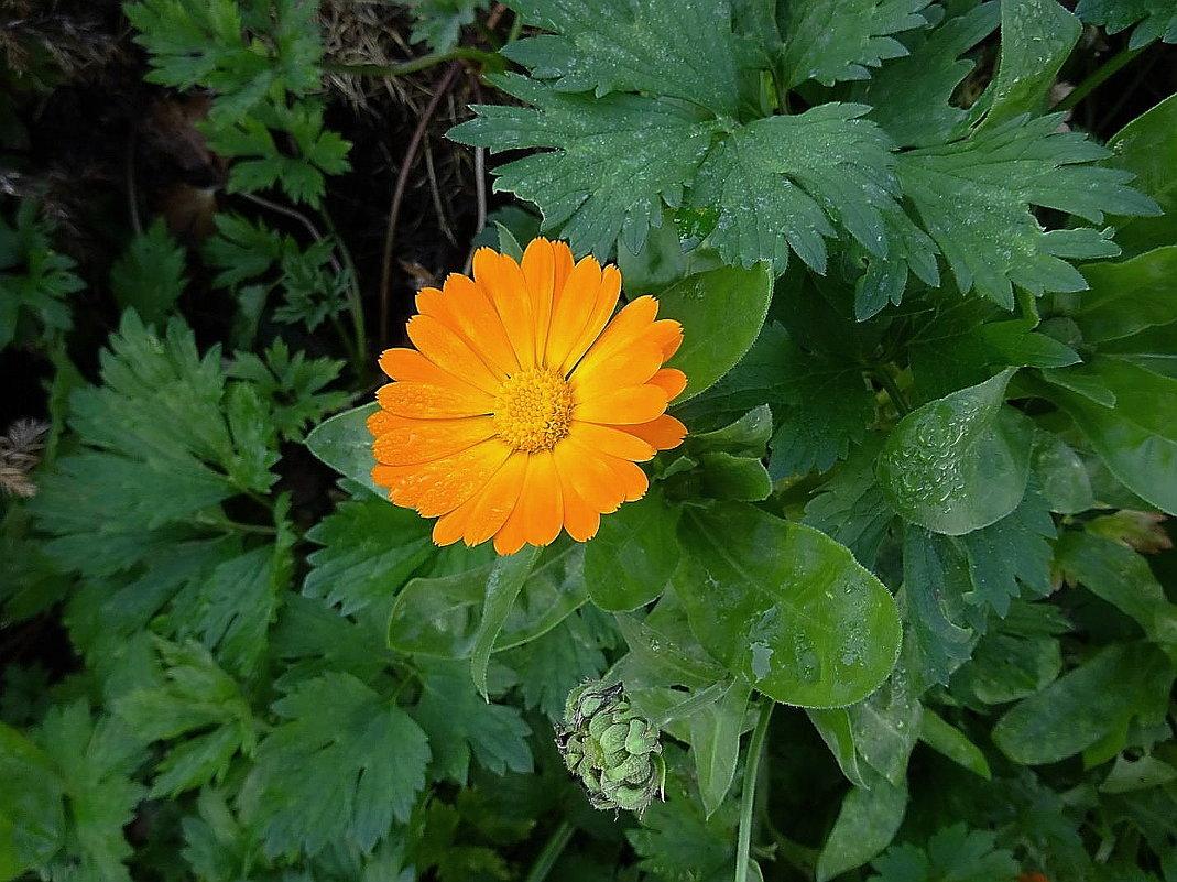 Цветок календулы - Маргарита Батырева