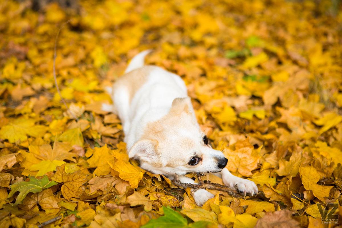 Собака грузёт палку на ковре из жёлтых листьев - Valentina Zaytseva