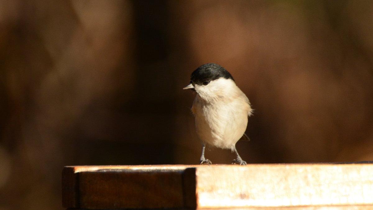 гаичка - linnud