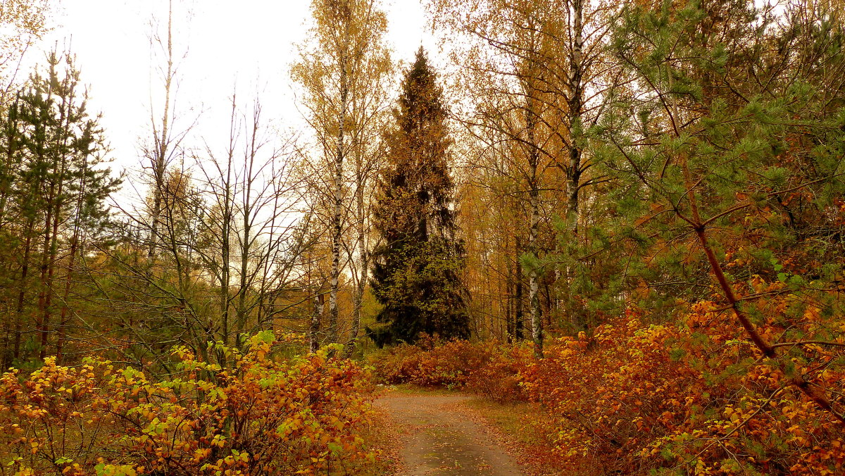 зелёная ель среди осени - Александр Прокудин