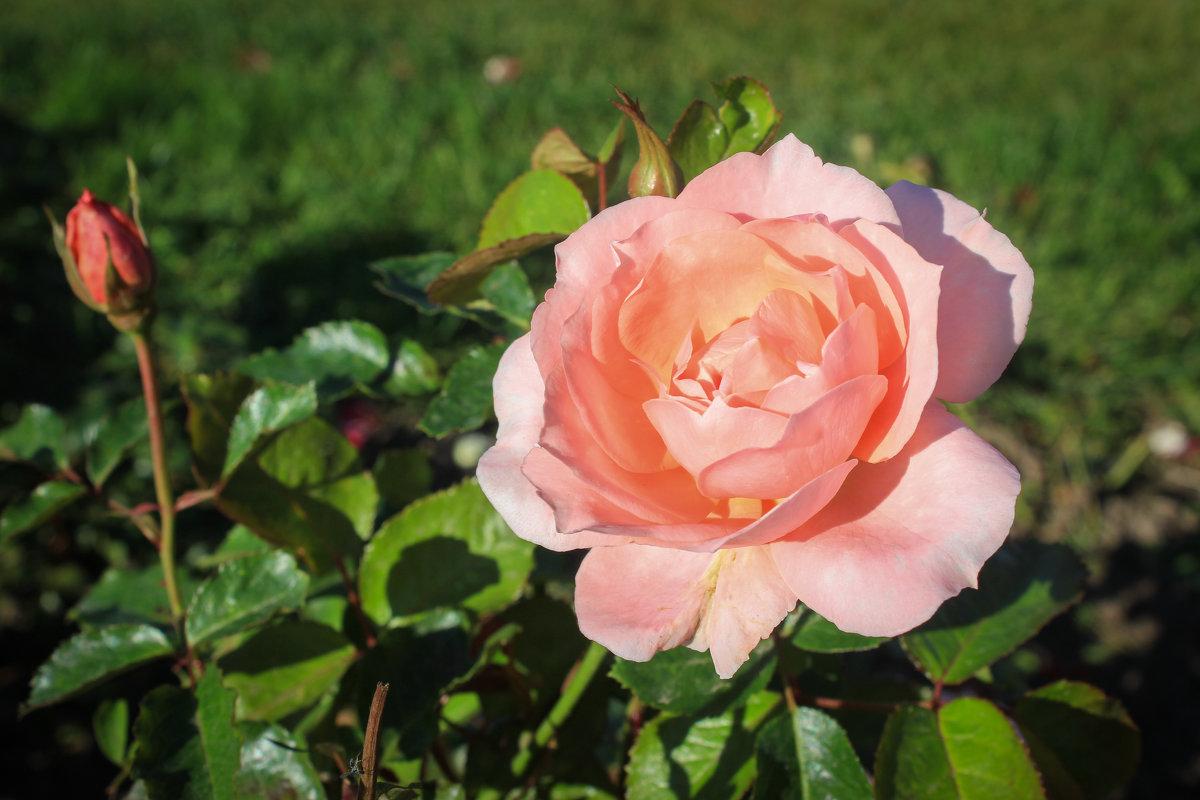Розовая Роза - Gaivor ina