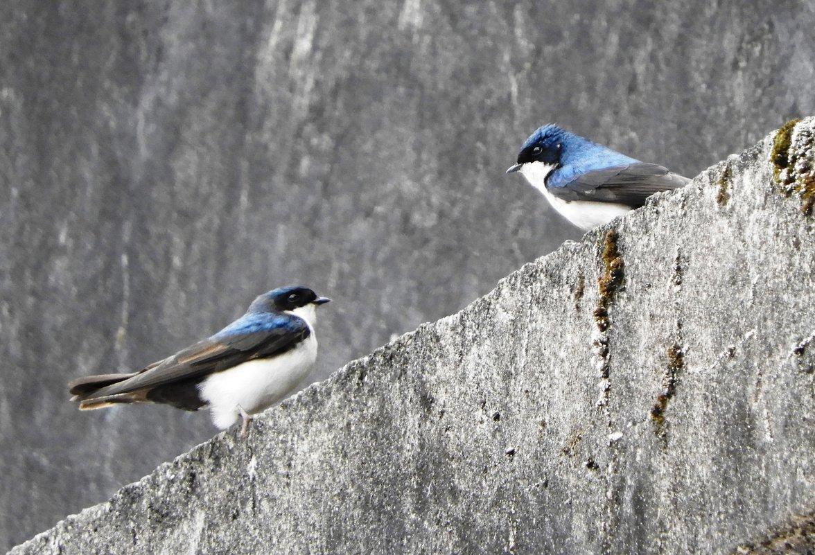 White-blue swallows - чудинова ольга