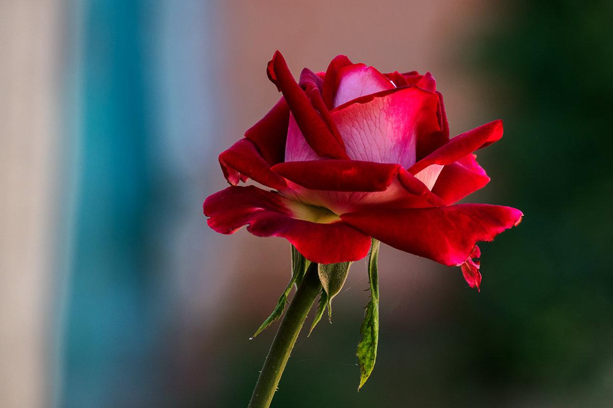 Роза - Игорь Сикорский