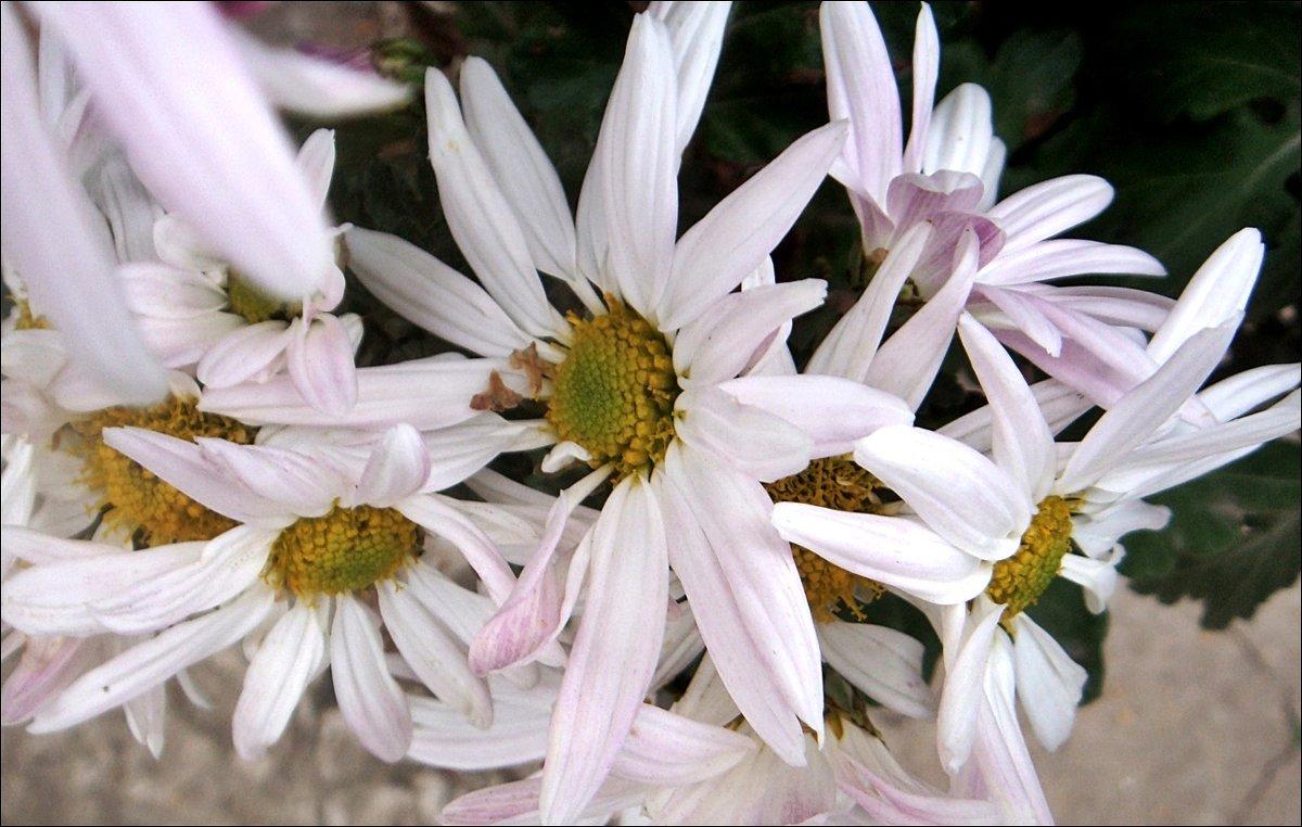 Хризантемы из нашего двора - Нина Корешкова