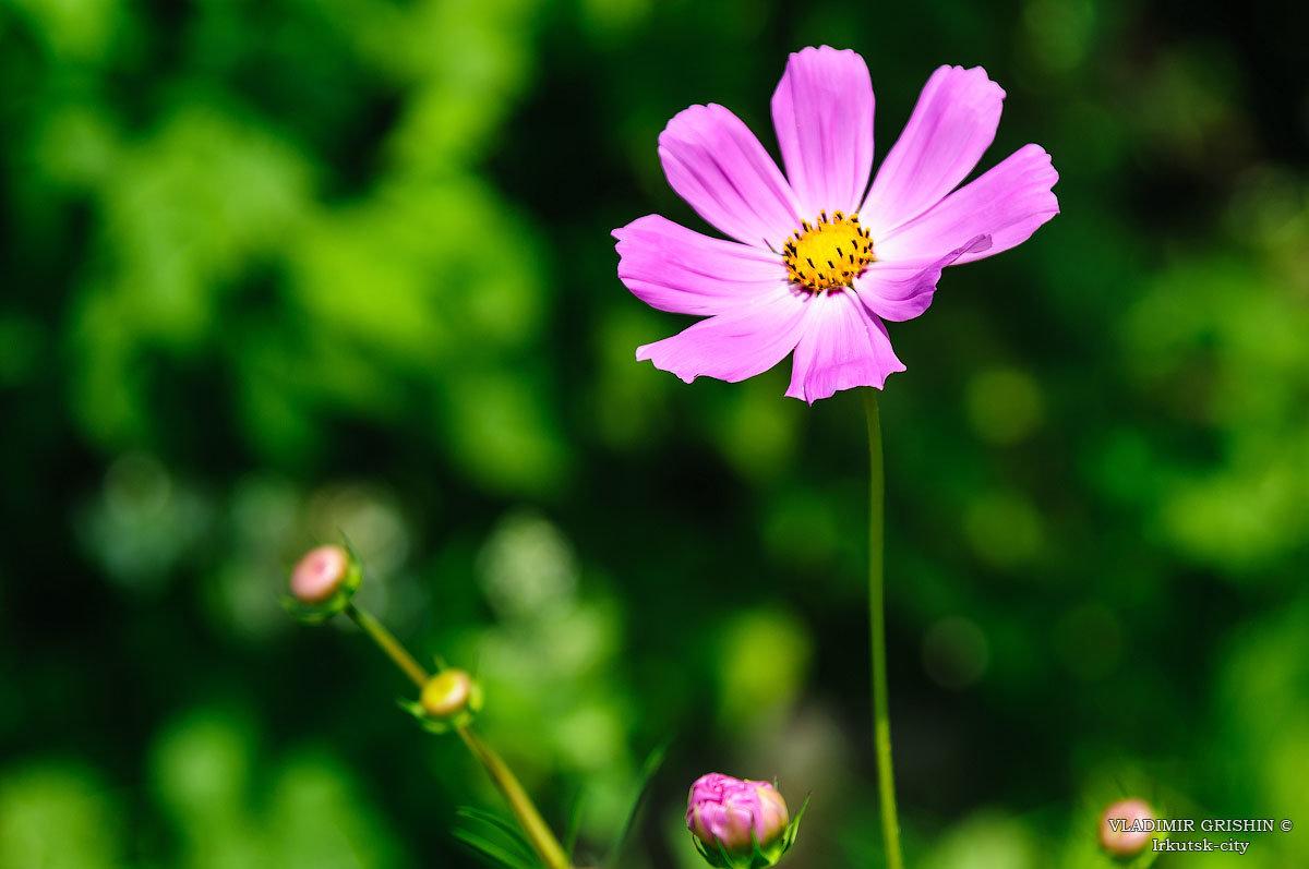 Космея цветок - Владимир Гришин