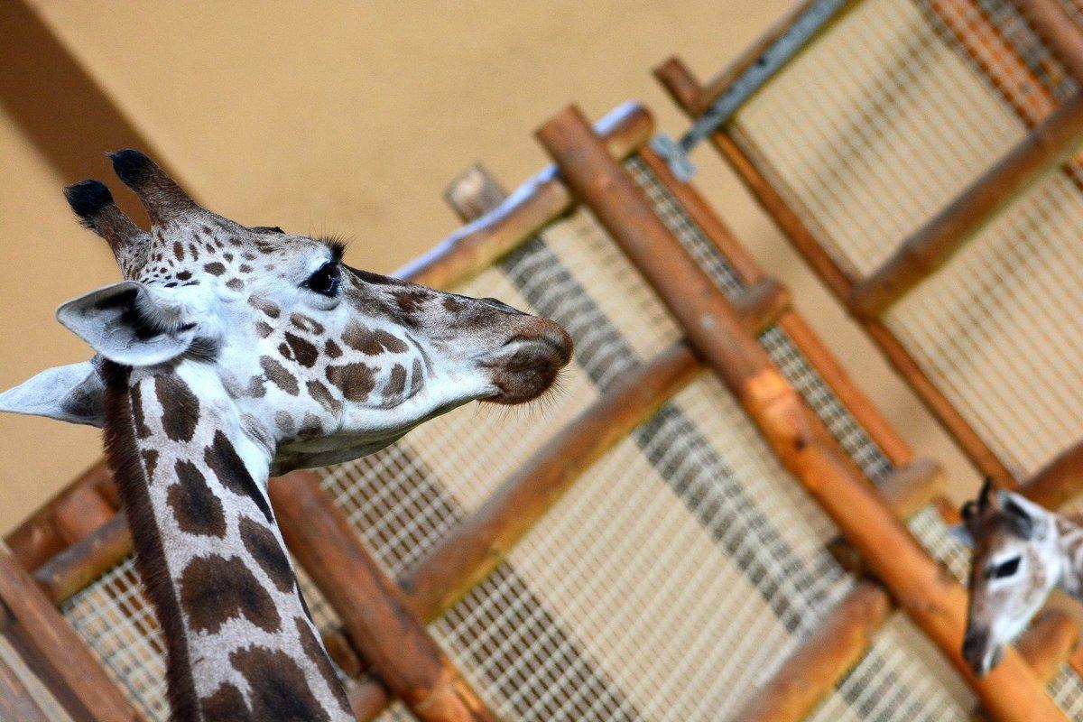 Жираф и жирафенок - Олег Шендерюк