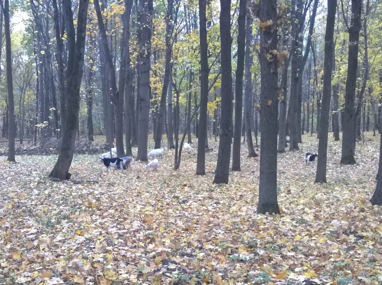 Козы - Елена Иванкина