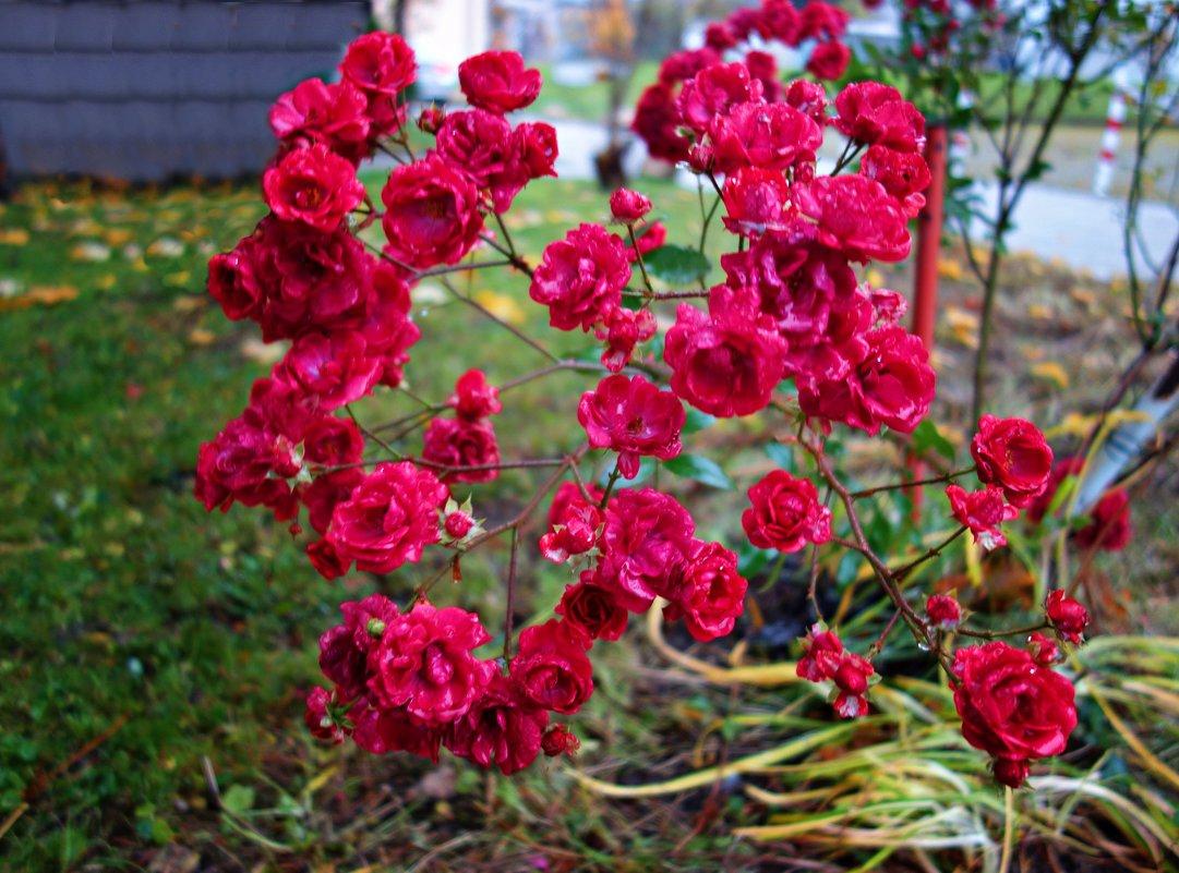 Цветы ноября.... - Galina Dzubina