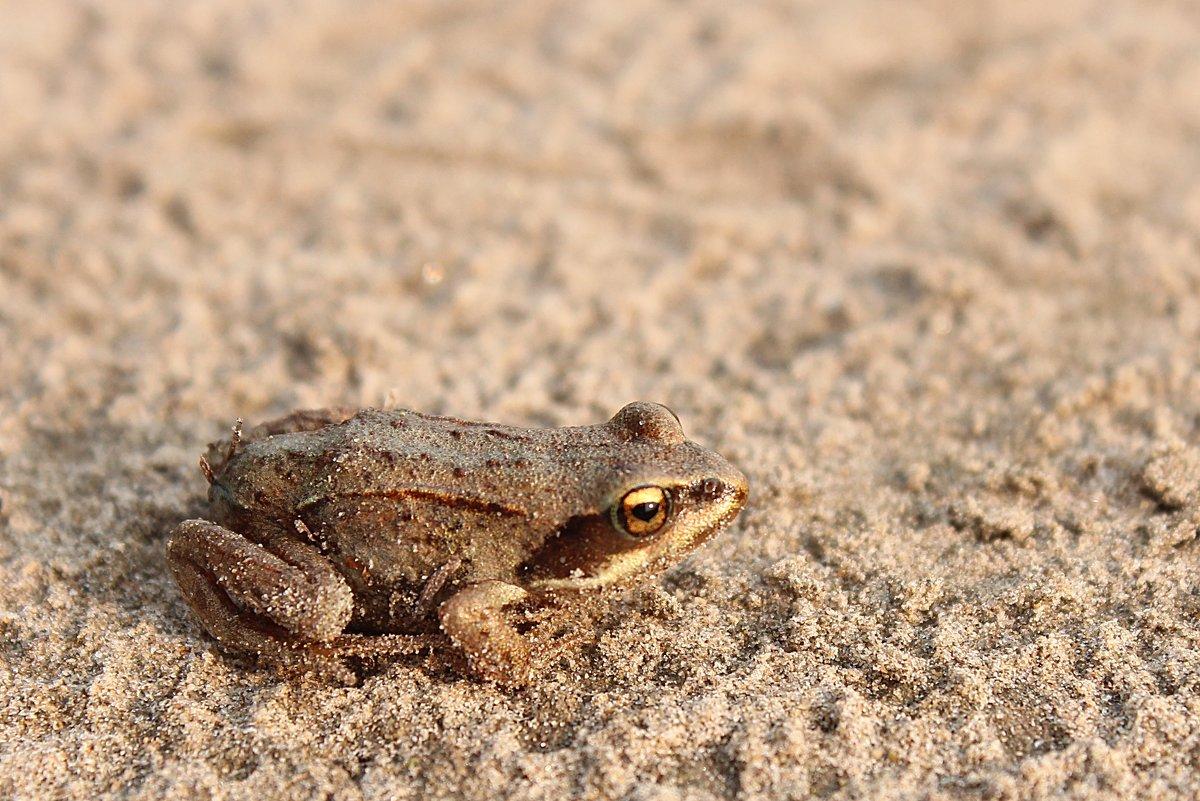 Песочная лягушка - Александр Велигура