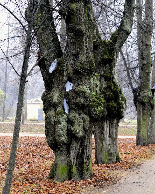 Старые липы парка - Сергей