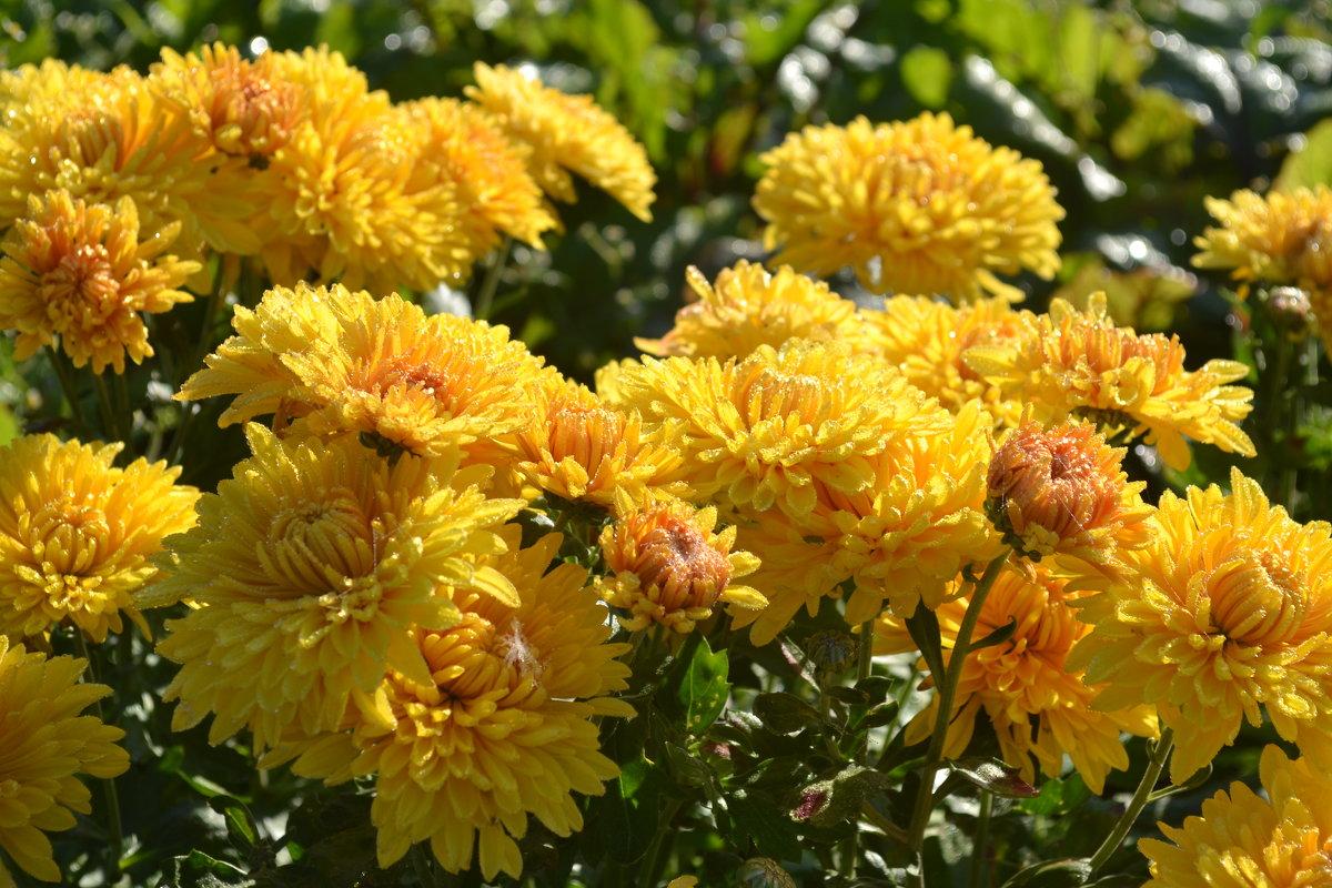 хризантемы - Светлана