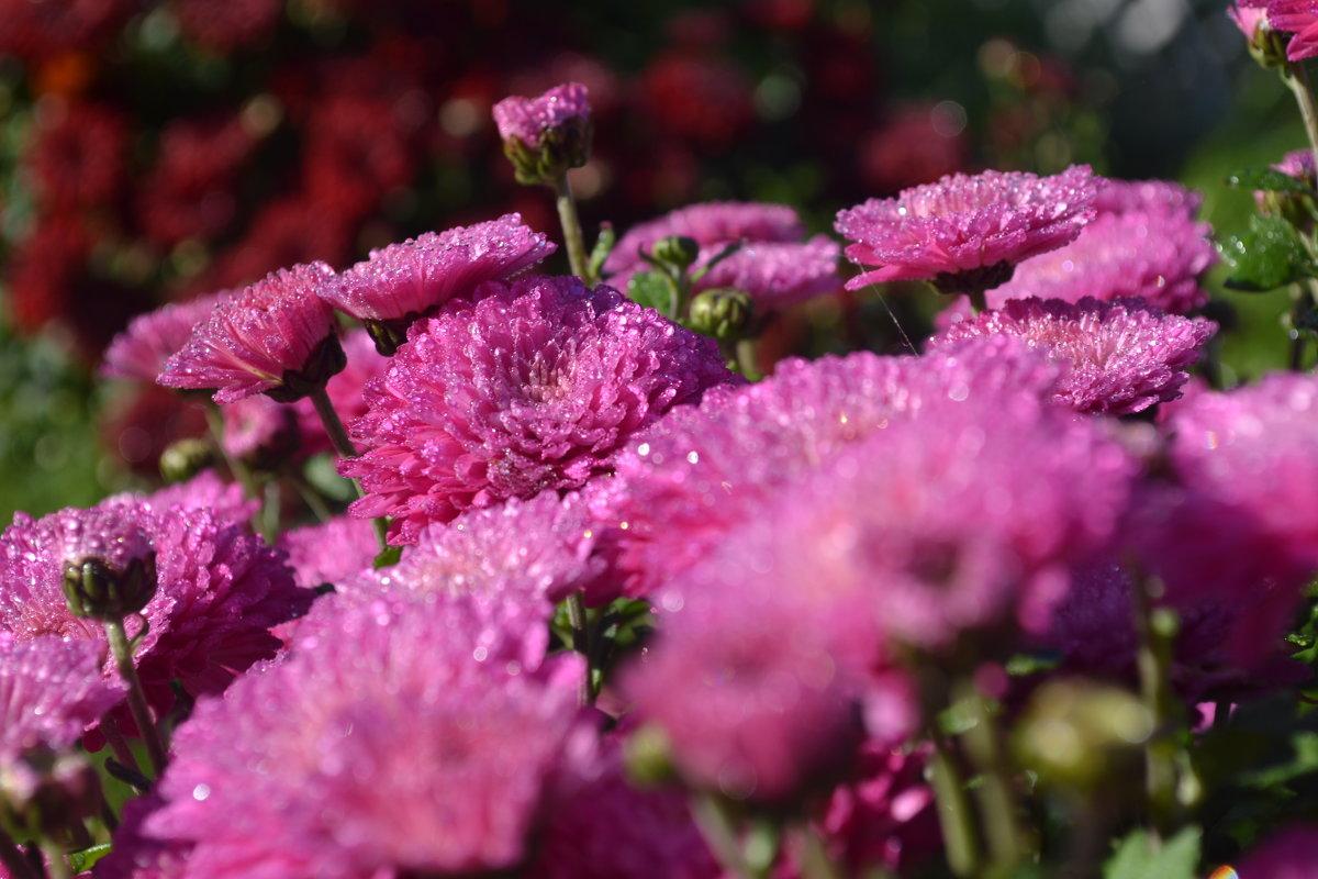 Осенние цветы - Светлана