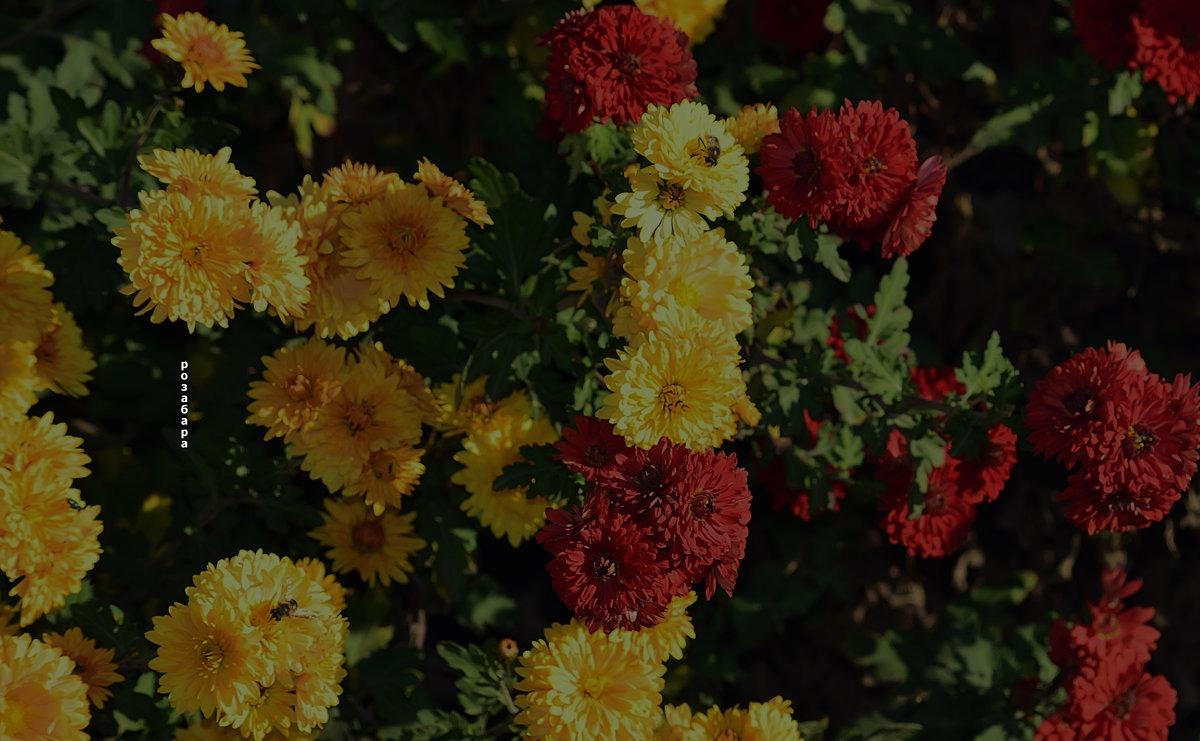 мои ноябрьские цветочки - Роза Бара