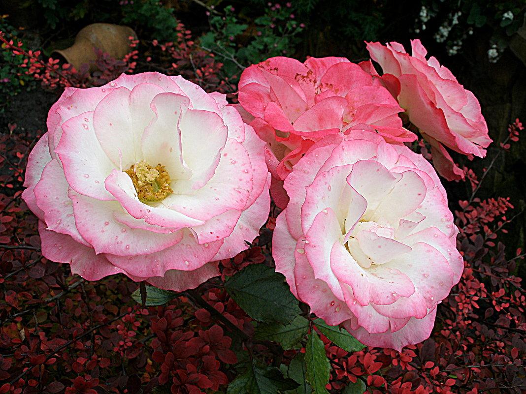 Ноябрьские розы - svetlana.voskresenskaia