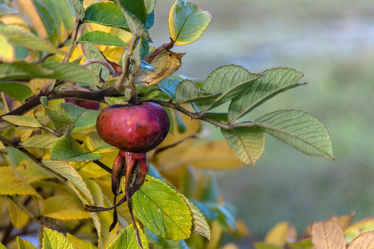 плоды поздней осени - VL