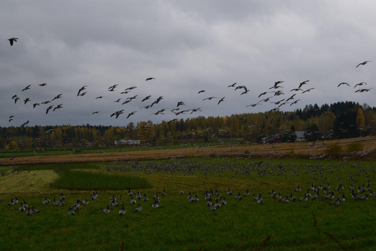Стая диких гусей - Андрей