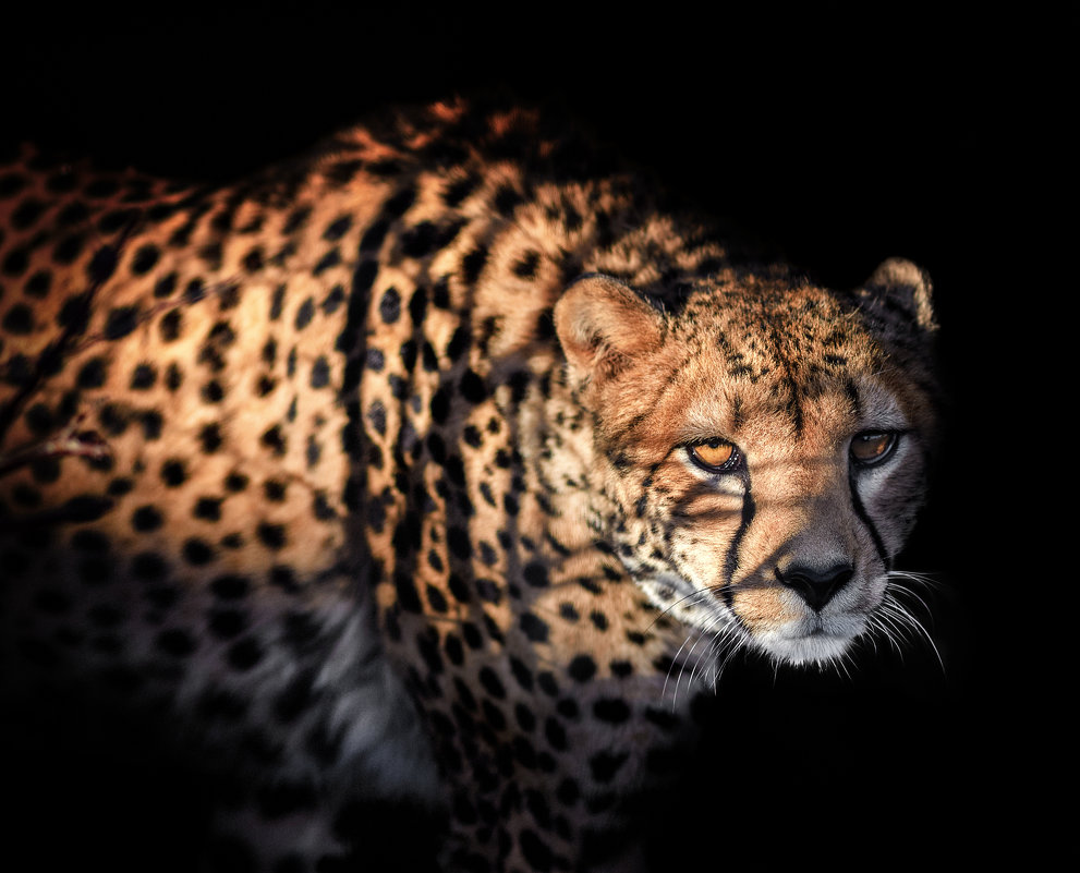 Гепард - олег