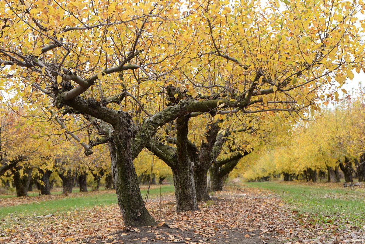 Яблочный сад - Михаил Першин