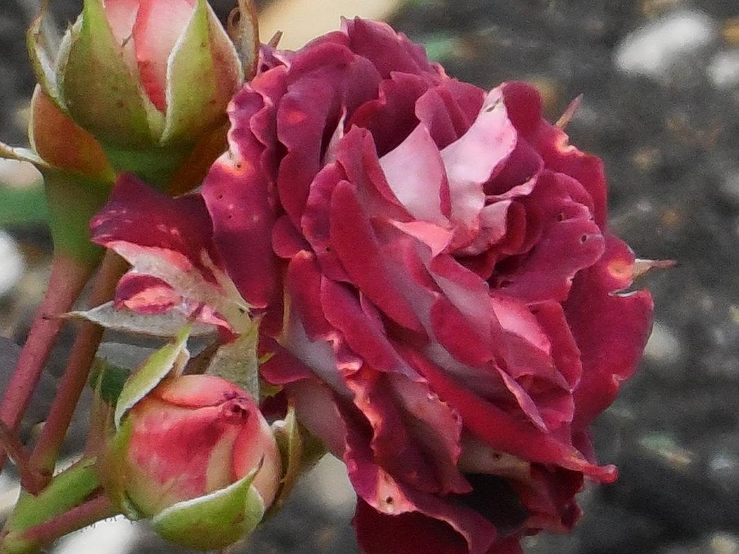 Розы, розы... - Вячеслав Медведев