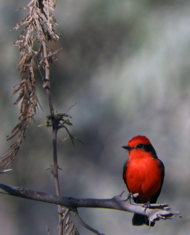 Vermillion Flycatcher - чудинова ольга