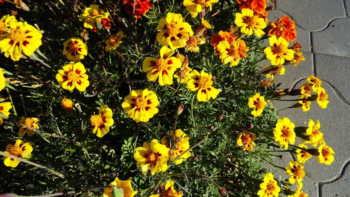 Солнечные цветы - татьяна