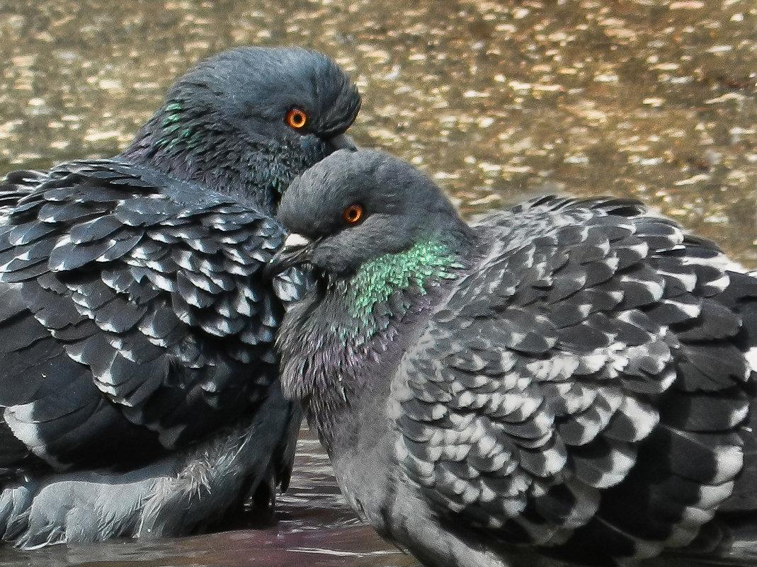 Любовь и голуби - Владимир Шамота