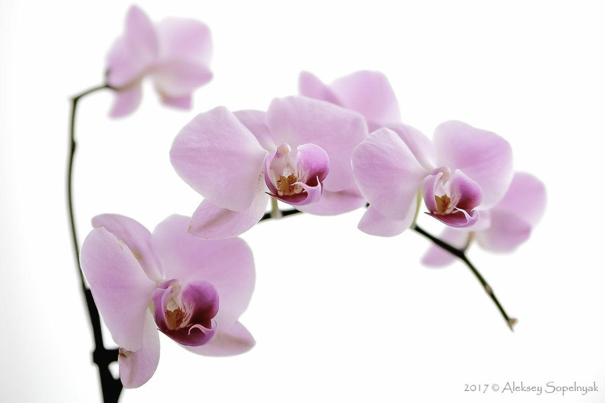 Орхидеи - Алексей Сопельняк