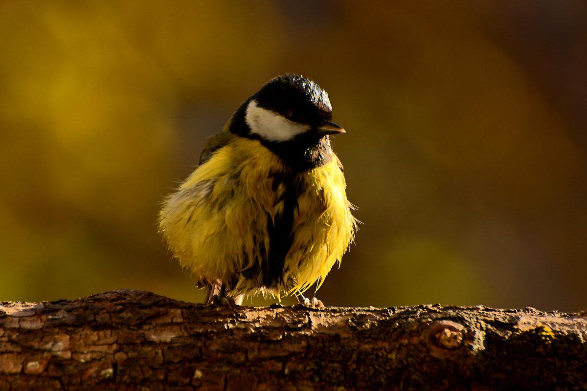 синичка - linnud