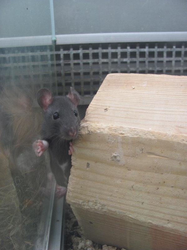 крысёнок-малыш - Зинаида