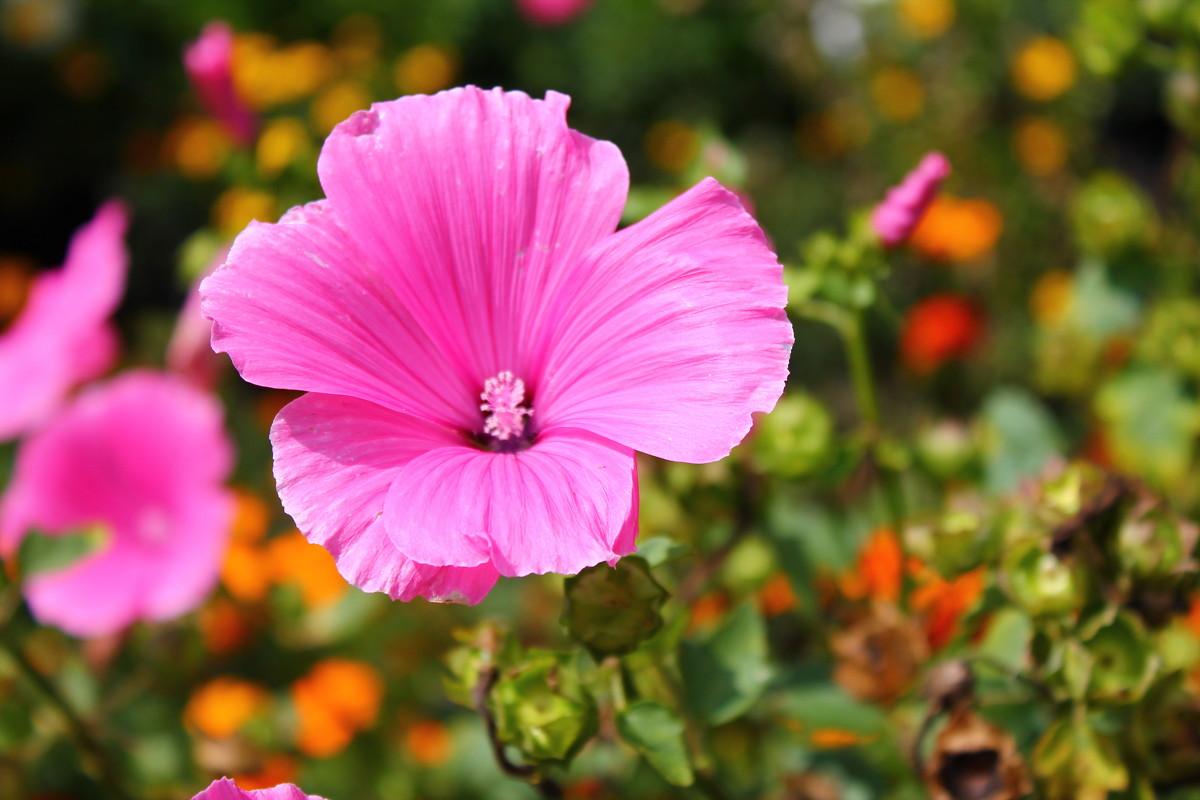 Розовая красота - Ксения Бреева