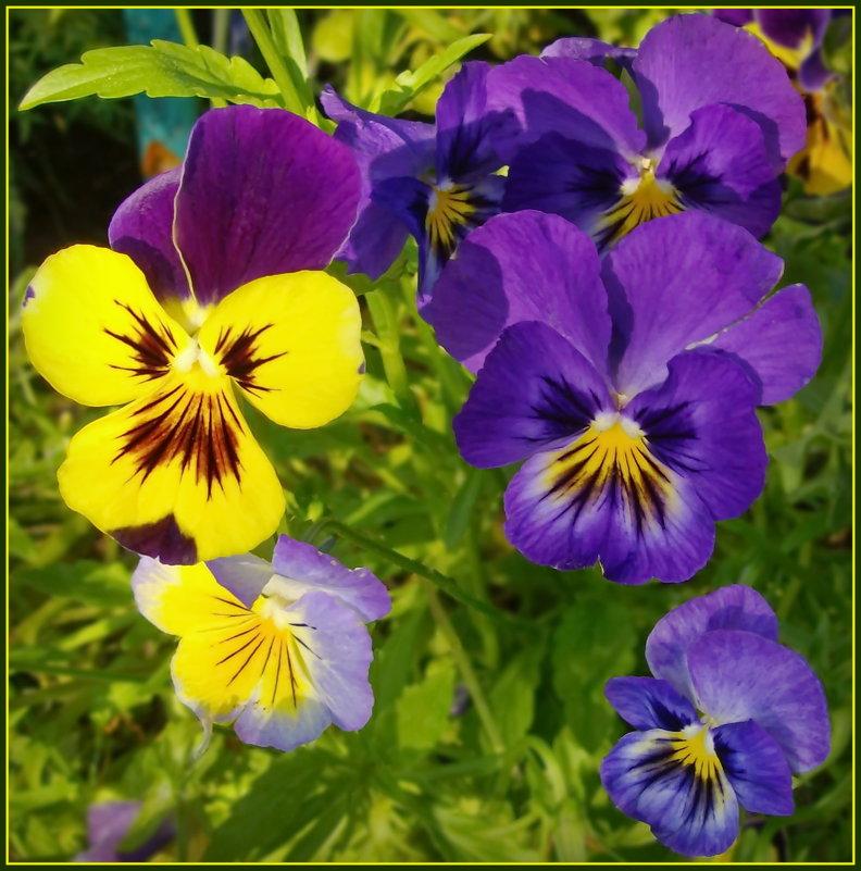 Разноцветные анютки - lady v.ekaterina