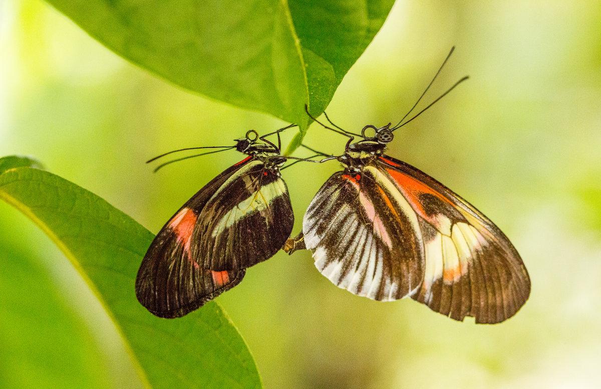 бабочки - Naum