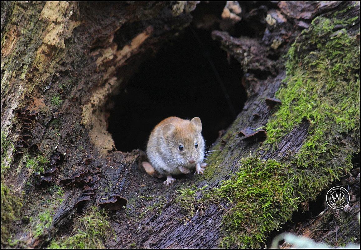 Лесная мышь в поисках добычи - Максим Минаков