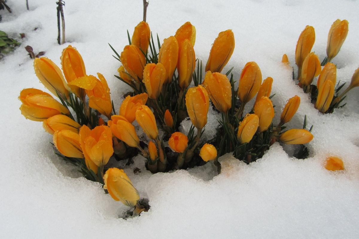 Крокусы весной - Mariya laimite