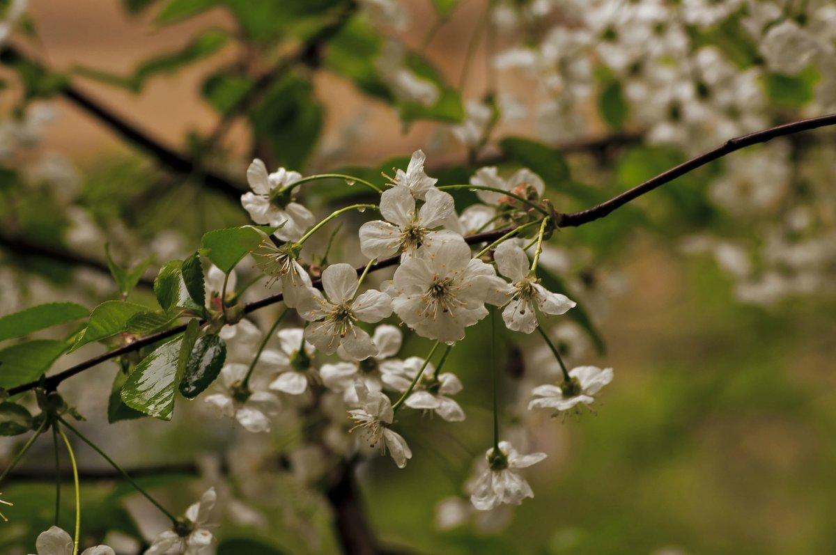 Прекрасной вишни цветение - Ольга Винницкая (Olenka)