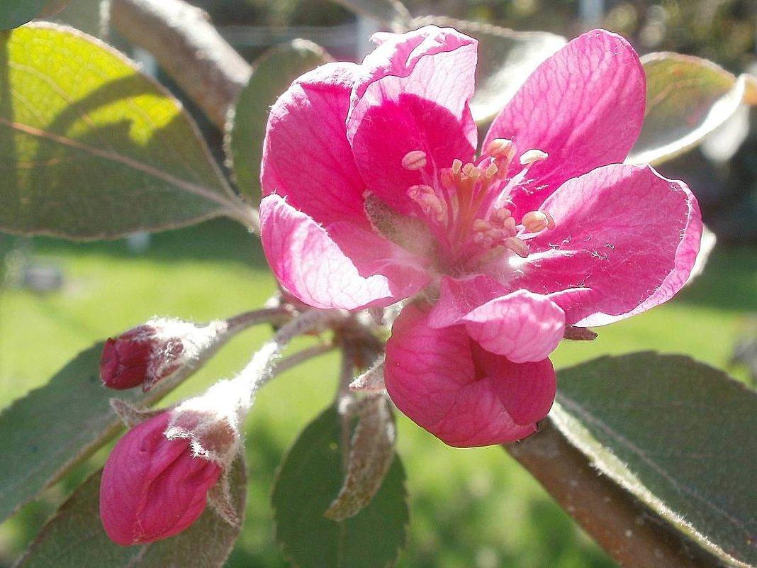 Яблоневый цвет - Марина Чайкина