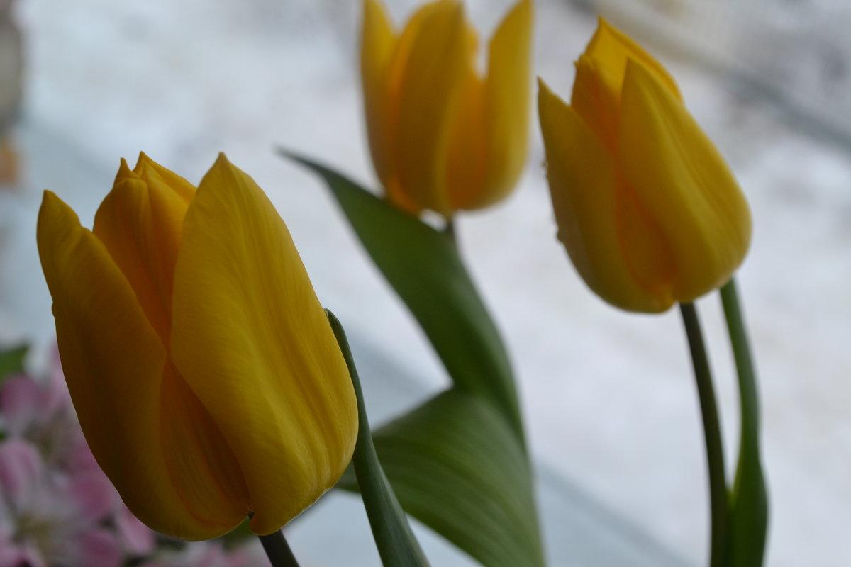 ,,Жёлтые тюльпаны любви,, - zoja