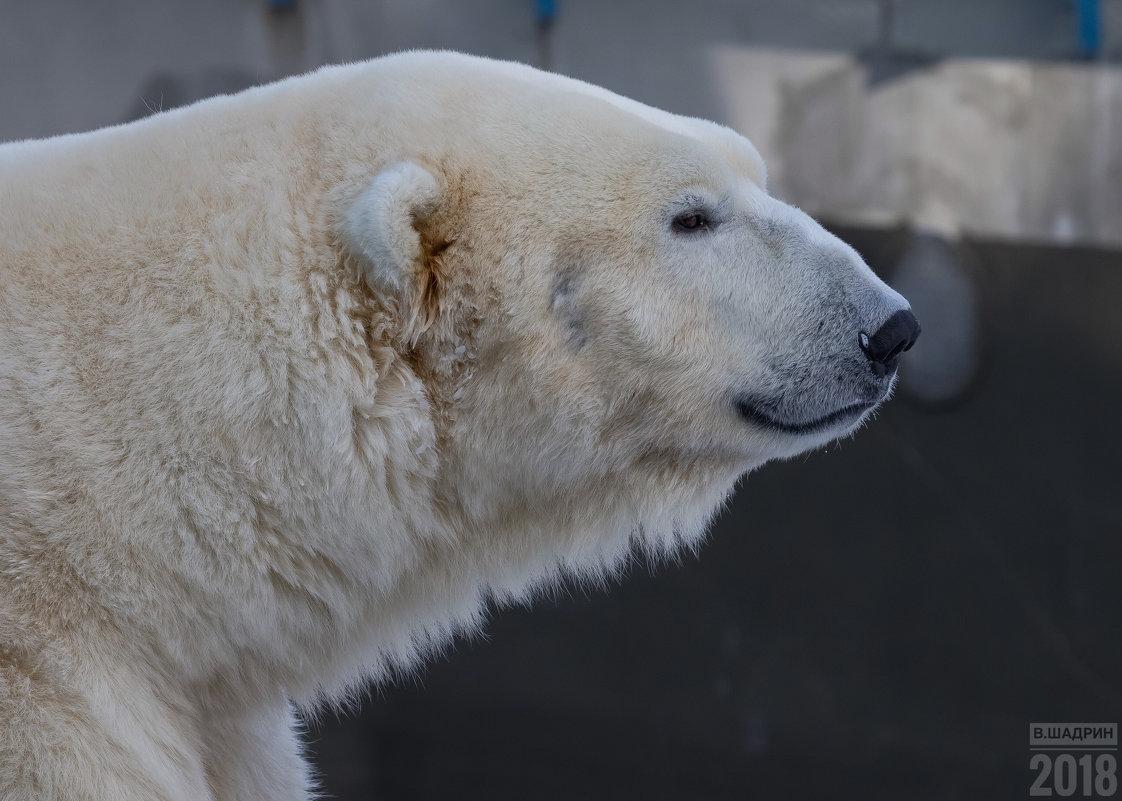 Белый медведь - Владимир Шадрин