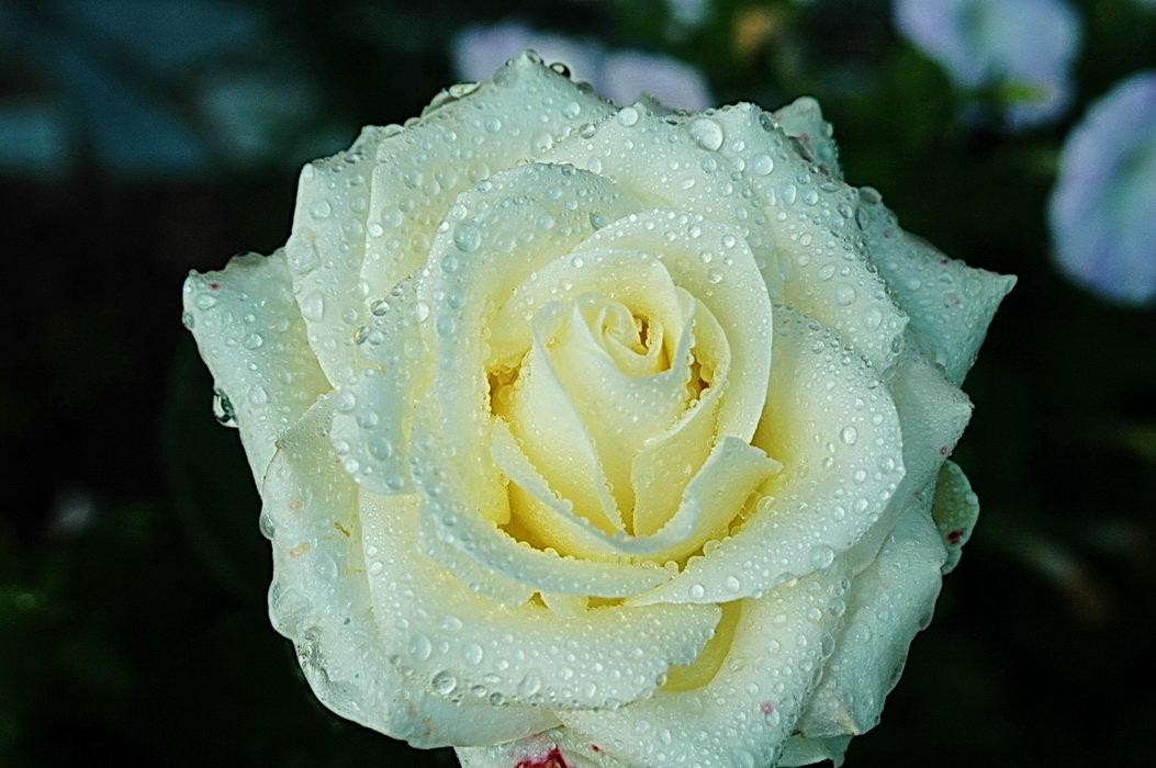 белая роза - Александр