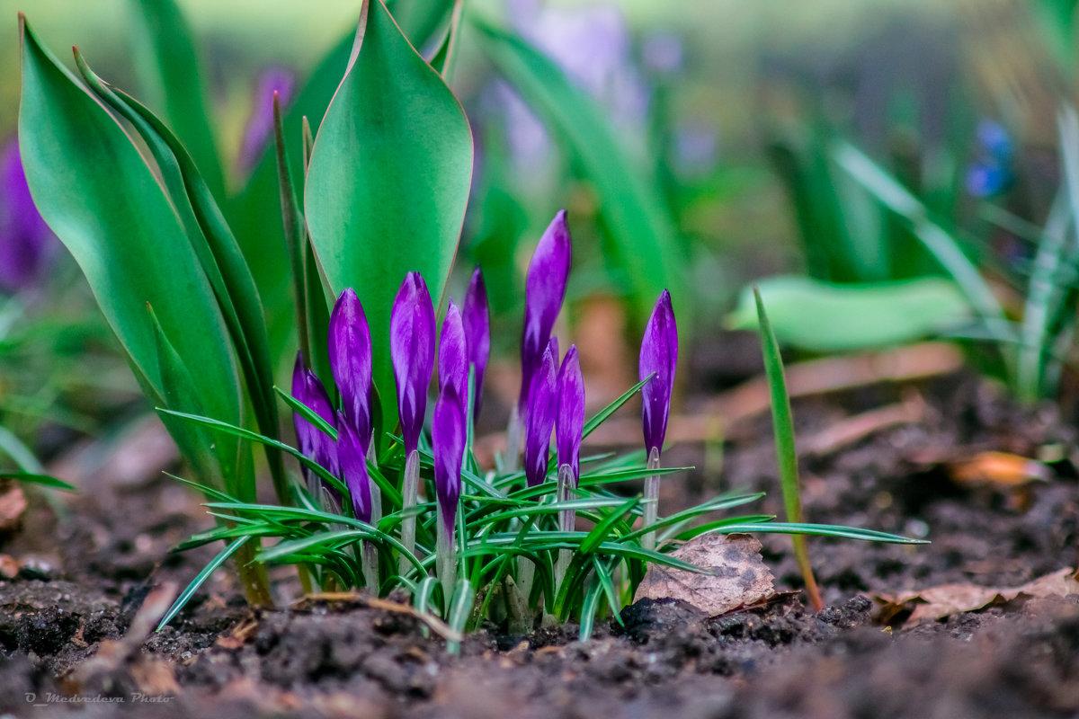 приближение весны - Ольга (Кошкотень) Медведева