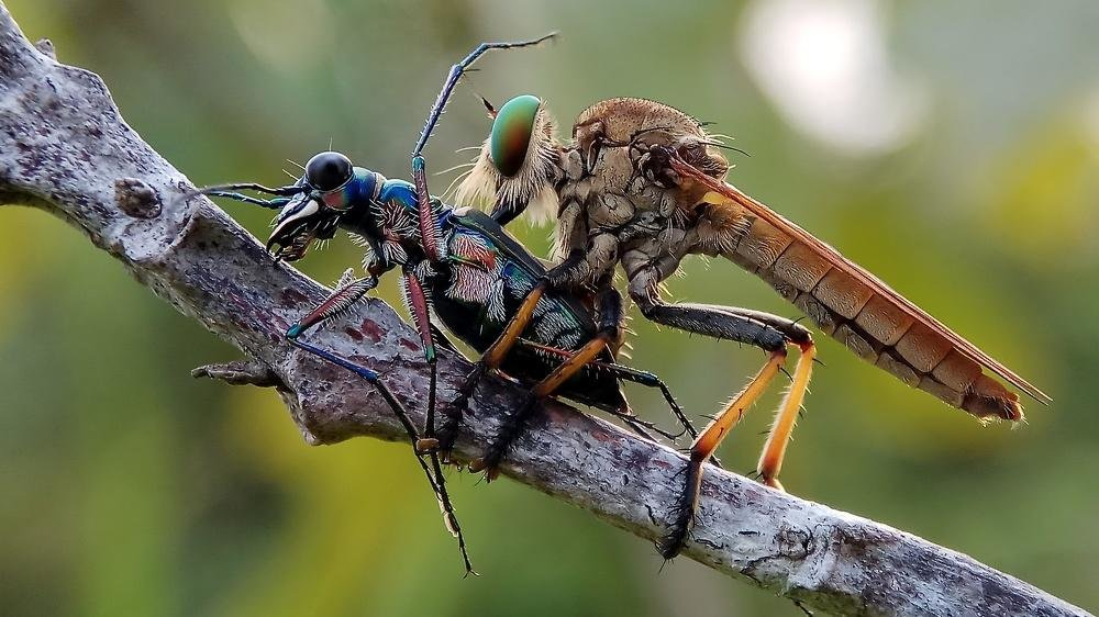 Robber Fly vs Tiger Beetle - ian 35AWARDS
