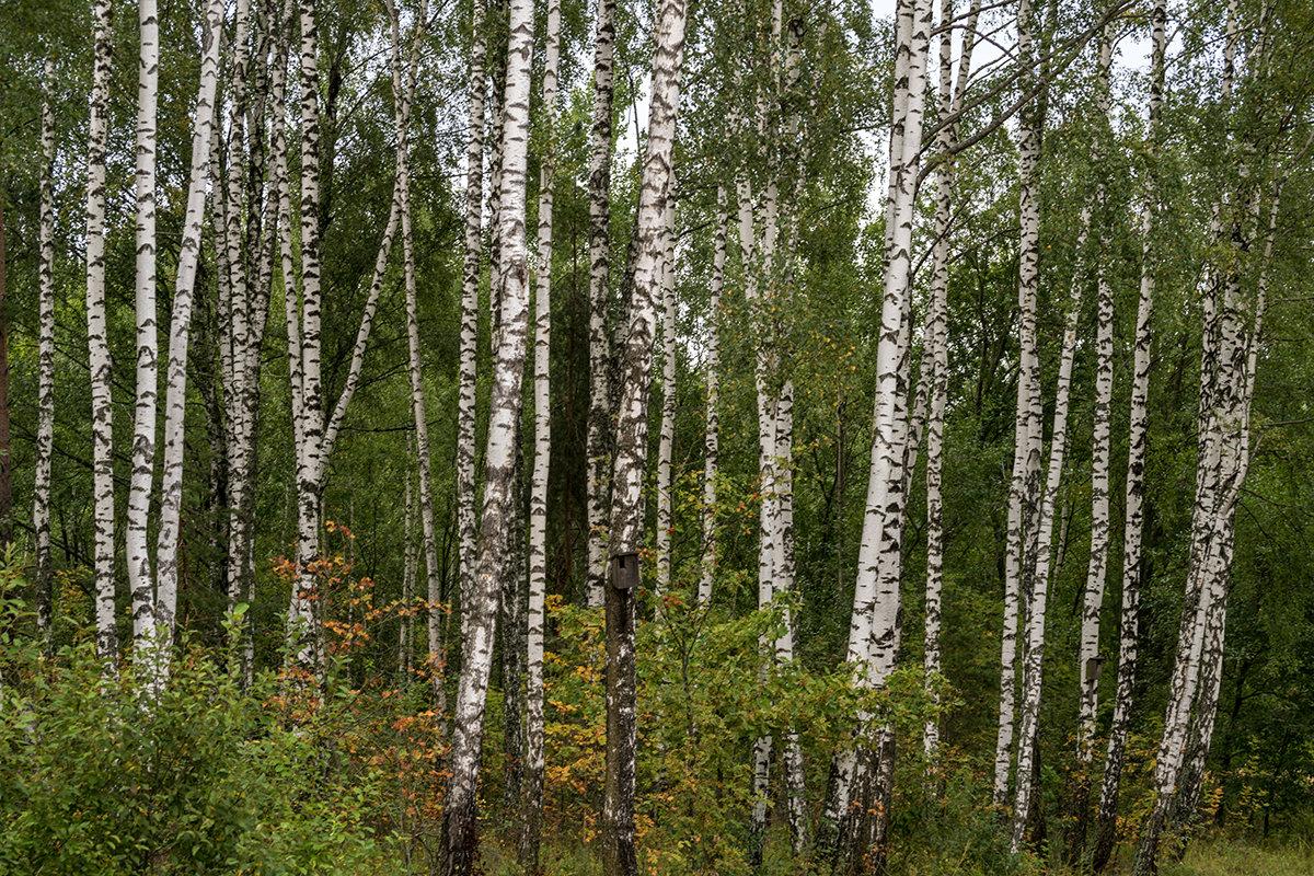 Лес в Республике Беларусь - Игорь Сикорский