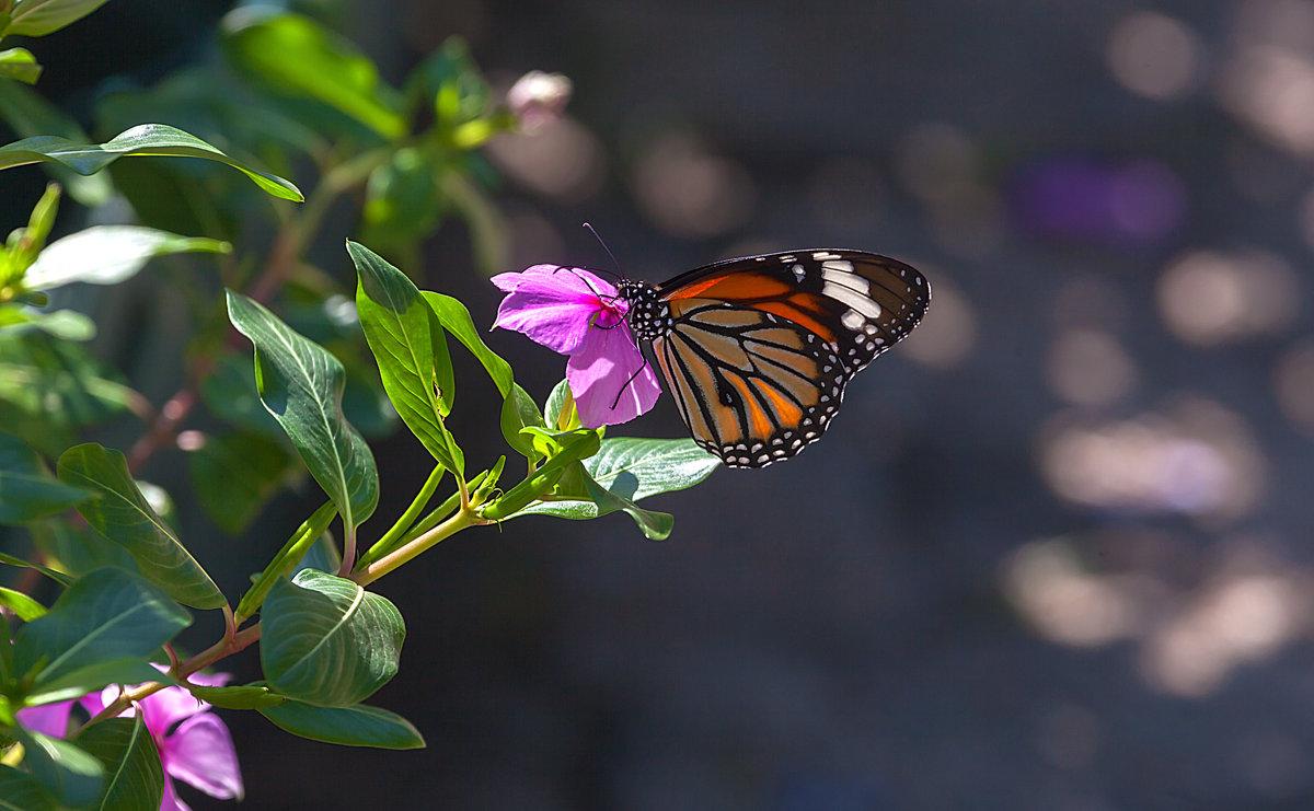 Бабочки парков Гонконга - Анатолий Иргл