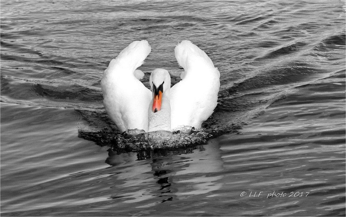 Лебедь-шипун . - Liudmila LLF