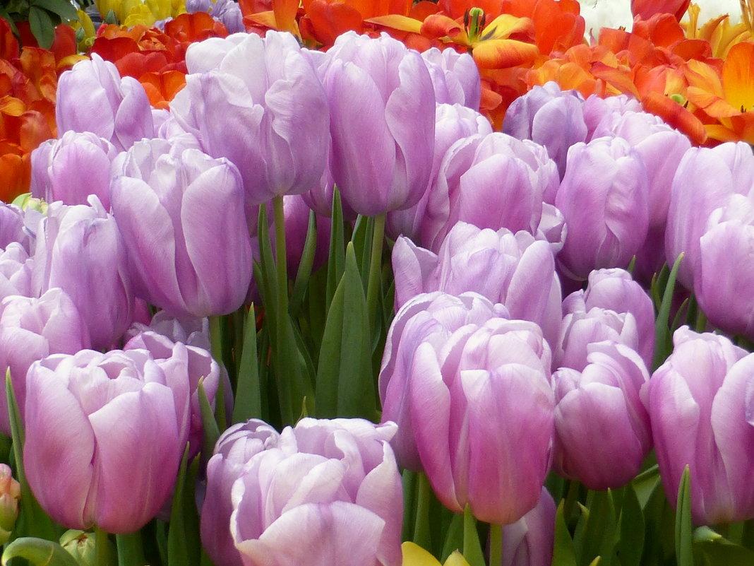 Тюльпаны в сиреневых тонах - Татьяна Лобанова
