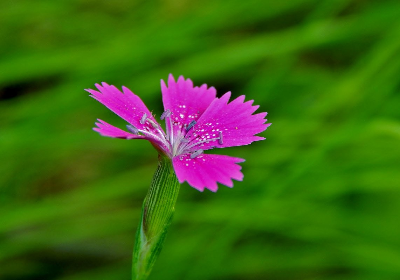Маленькая дикая гвоздика в поле - Валентина Пирогова
